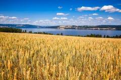Mogna landskap för sommar för vetefält med Mjosa sjön i backgro royaltyfri bild