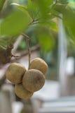Mogna limefrukter Royaltyfria Foton