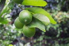Mogna limefrukter som hänger från ett träd Arkivbilder