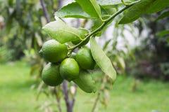 Mogna limefrukter som hänger i ett träd Fotografering för Bildbyråer