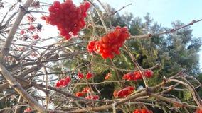 Mogna ljusa röda bär av viburnumen i trädgården som täckas i regndroppar och crystal vit snö royaltyfria foton