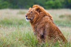 Mogna manliga Lion Portrait arkivbilder