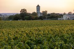 Mogna Merlotdruvor som t?nds av varmt sent solsken i den Montagne ving?rden n?ra Saint Emilion, Gironde, Aquitaine fotografering för bildbyråer