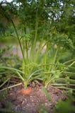 Mogna morötter i grönsakträdgård utomhus Arkivbilder