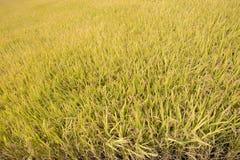 Mogna mycket guld- risfält i höst Arkivfoton