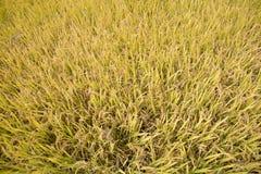 Mogna mycket guld- risfält i höst Royaltyfria Bilder