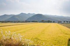 Mogna mycket guld- risfält i höst Arkivfoto