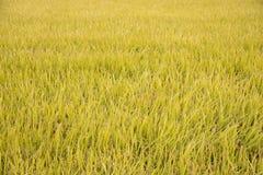 Mogna mycket guld- risfält i höst Royaltyfri Foto