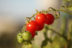 Mogna naturliga tomater som växer på en filial arkivbild
