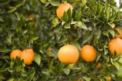 mogna nya apelsiner Fotografering för Bildbyråer