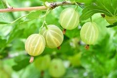 Mogna nya gröna krusbär i trädgården arkivfoto