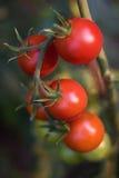 Mogna nya tomater Arkivfoto