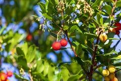 Mogna och halv-mogna frukter av den mogna arbutusen för madroño arkivfoto