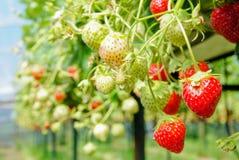 Mogna och omogna jordgubbar Arkivfoton