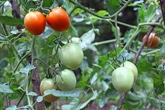 Mogna och omogna tomater i växter royaltyfria foton