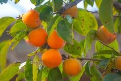 Mogna orange persimoner på persimonträdet, frukt arkivfoto