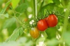 Mogna organiska tomater Arkivfoto