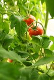 Mogna organiska tomater Royaltyfria Foton