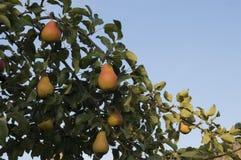 Mogna päron på trädfilialer arkivbild