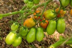 Mogna peppartomater för tillväxt i växthus Arkivbild