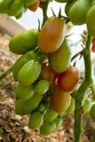 Mogna peppartomater för tillväxt i växthus Royaltyfri Fotografi