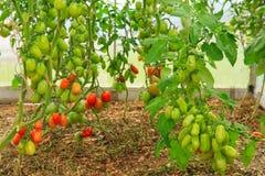 Mogna peppartomater för tillväxt i växthus Arkivfoton