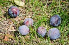Mogna plommoner som är stupade från trädet Arkivbild