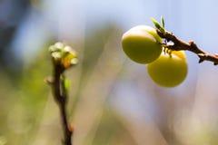 Mogna plommoner som hänger från en tree i en fruktträdgård Royaltyfri Bild