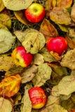 Mogna röd-guling äpplen som ligger på höstsidor arkivfoto