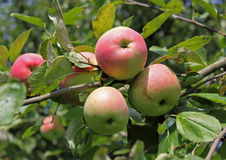 Mogna röda äpplen på en filial Arkivfoto