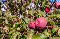 Mogna röda äpplen på en filial Fotografering för Bildbyråer