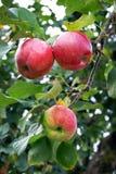 Mogna röda äpplen på filial Hösttid i garden_ fotografering för bildbyråer