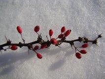 Mogna röda bär av barberryen på en filial ligger på en bakgrund av vit skinande snö Royaltyfri Bild