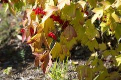Mogna röda bär för Viburnum på filialerna av ett träd med höstsidor arkivfoto