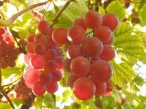 Mogna röda druvor på en vinranka arkivbild