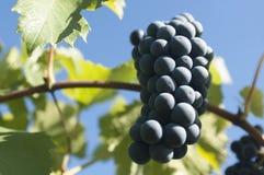 Mogna röda druvor på en vinranka Arkivfoto