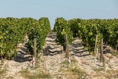 Mogna röda druvor på rader av vinrankor i en vienyard för vinskörden arkivbilder