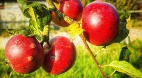 Mogna röda organiska äpplen Arkivbild