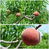 Mogna röda persikor på trädet i en fruktträdgård; fotocollage Arkivfoton