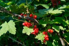 Mogna röda vinbär på en buske arkivbild