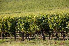 Mogna r?da druvor p? rader av vinrankor i en vienyard f?r vinsk?rden i den Saint Emilion regionen france arkivbilder