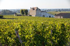 Mogna r?da druvor p? rader av vinrankor i en vienyard f?r vinsk?rden i den Saint Emilion regionen france arkivbild