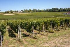 Mogna r?da Merlotdruvor p? rader av vinrankor i en vienyard f?r vinsk?rden i den Saint Emilion regionen royaltyfria bilder