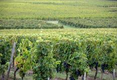 Mogna r?da Merlotdruvor p? rader av vinrankor i en vienyard f?r vinsk?rden i den Saint Emilion regionen royaltyfri bild