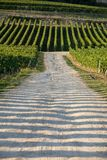 Mogna r?da Merlotdruvor p? rader av vinrankor i en vienyard f?r vinsk?rden i den Saint Emilion regionen royaltyfri foto