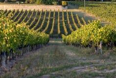 Mogna r?da Merlotdruvor p? rader av vinrankor i en vienyard f?r vinsk?rden i den Saint Emilion regionen arkivfoton