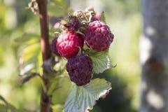 Mogna Raspberrys i en landsträdgård på en sommardag Royaltyfria Bilder