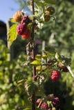 Mogna Raspberrys i en landsträdgård på en sommarmorgon arkivbilder