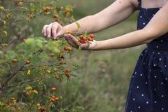 Mogna rosa höfter, den unga kvinnan samlar skörden av medicinalväxter, bakgrund royaltyfria foton