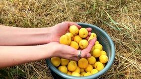 Mogna saftiga organiska aprikors i händerna av en flicka royaltyfri bild